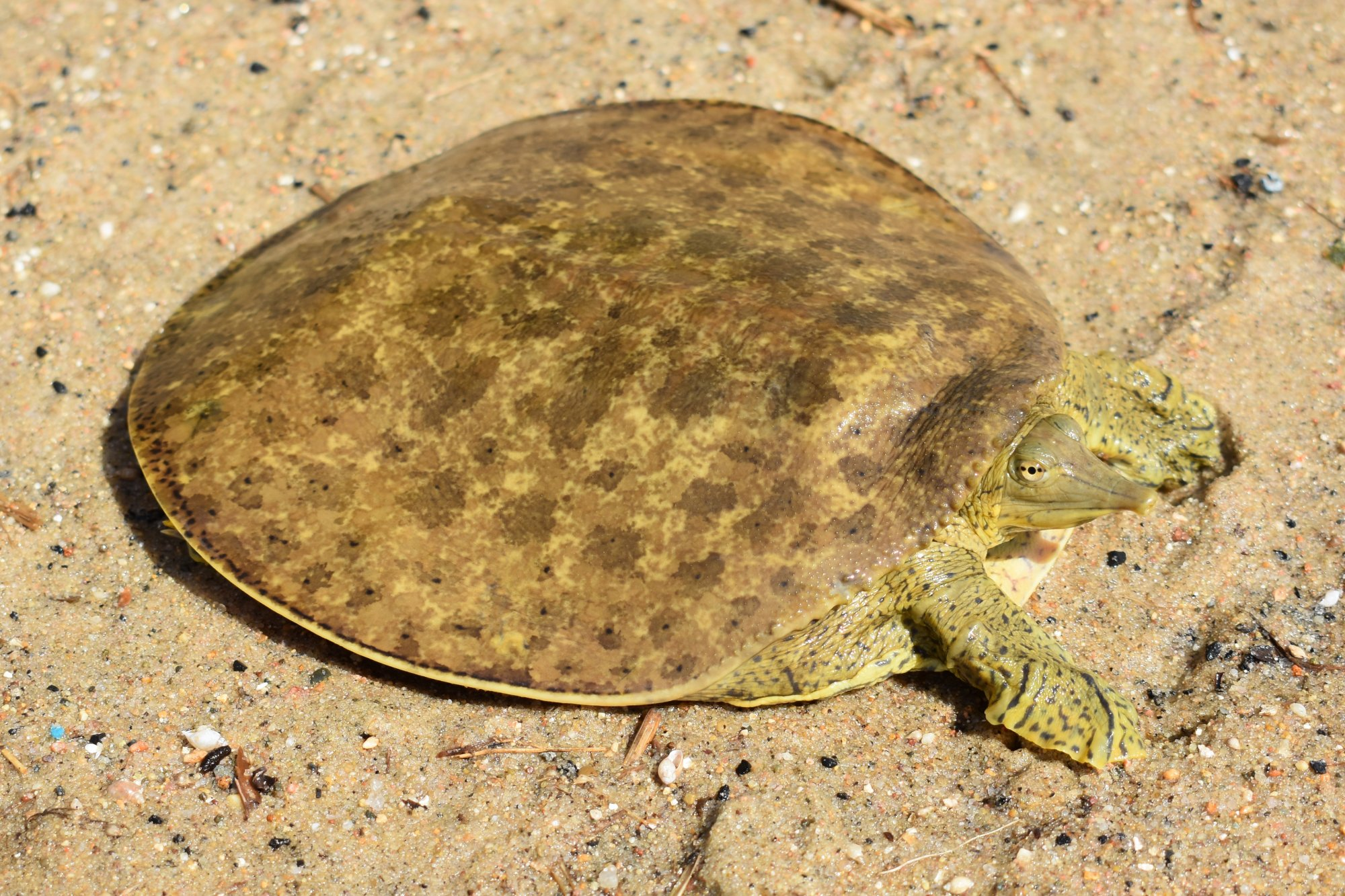The Battle Versus What Do Softshell Turtles Consume